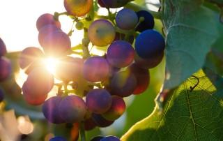 grapes-3550742_1920